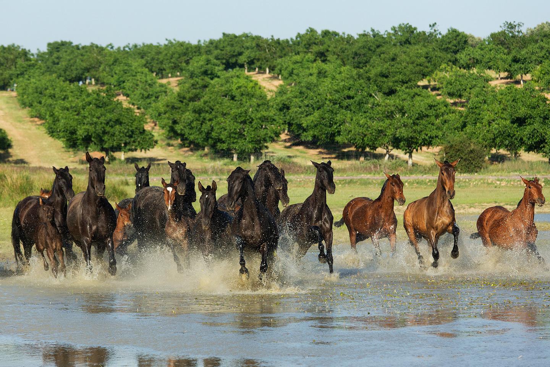 andaluzy-klacze-stado-galop-woda-wiosna-hiszpania