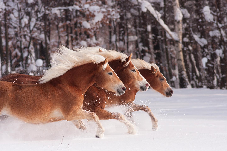 haflingery-stado-galop-zima-snieg-polska