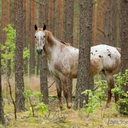 Tarantowata klacz wielkopolska w lesie