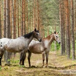 Tarantowate klacze wielkopolskie w lesie