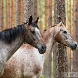 Portret dwóch tarantowatych klaczy wielkopolskich w lesie