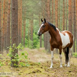 Srokaty koń rasy wielkopolskiej stojący w lesie