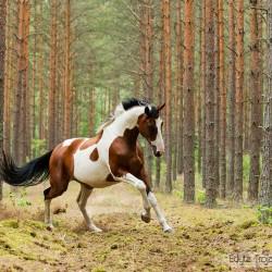 Srokaty koń rasy wielkopolskiej galopujący po lesie