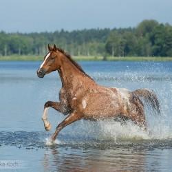 Tarantowata klacz wielkopolska galopująca przez jezioro zdjęcia koni equine photography