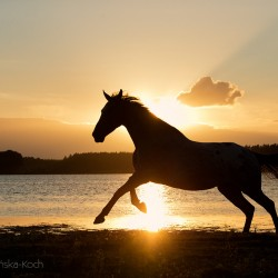 Klacz wielkopolska galopująca nad jeziorem o zachodzie słońca