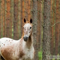 Portret tarantowatej klaczy wielkopolskiej w lesie