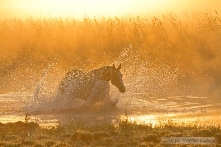 Wielkopolski izabelowaty wałach galopujący o świcie we mgle w rzece zdjęcia koni equine photography