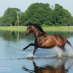 Gniada klacz wielkopolska galopująca latem w jeziorze zdjęcia koni equine photography