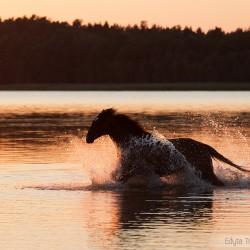 Klacz wielkopolska galopująca w jeziorze o zachodzie słońca zdjęcia koni equine photography