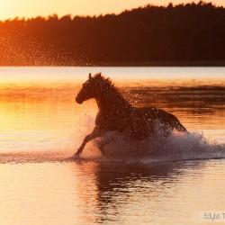 Klacz wielkopolska galopująca w jeziorze o zachodzie słońca na tle lasu zdjęcia koni equine photography