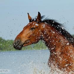 Wielkopolski gniady wałach portret w jeziorze w rozbryzgach wody zdjęcia koni equine photography