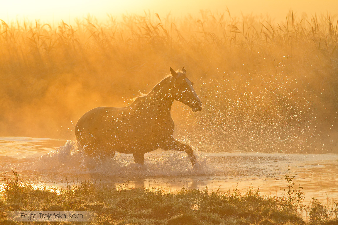 Wielkopolski wałach palomino kłusujący o świcie we mgle w rzece zdjęcia koni equine photography