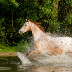 Tarantowata klacz wielkopolska galopująca latem przez jezioro na tle drzew zdjęcia koni equine photography