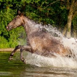 Tarantowata klacz wielkopolska Nawigacja galopująca przez jezioro zdjęcia koni equine photography
