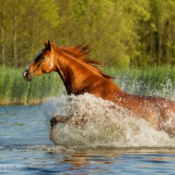 Kasztanowaty wałach wielkopolski galopujący latem przez jezioro zdjęcia koni equine photography