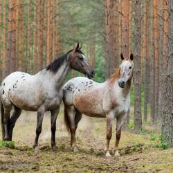 Dwie tarantowate klacze wielkopolskie w lesie
