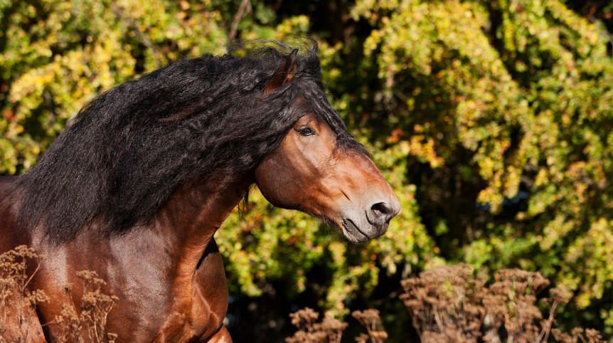 Portrait of Coldblooded bay stallion galloping in autumn against trees