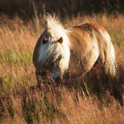Klacz kuca szetlandzkiego wśród traw o wschodzie słońca