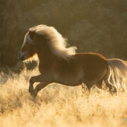 Kuc szetlandzki galopujący wśród traw o świcie