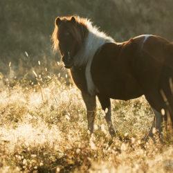 Klacz kuca szetlandzkiego stojąca o świcie wśród traw