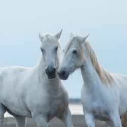 Portret siwych koni z Camargue