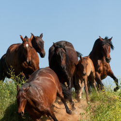 Stado klaczy andaluzyjskich galopujące w dół