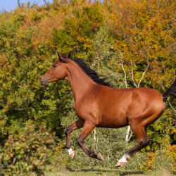 Arabian gelding galloping against autumn forest
