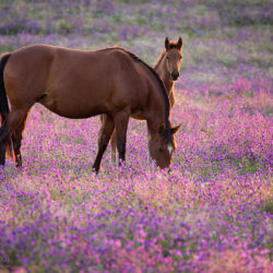 Lusitano mare with foal grazing in purple meadow
