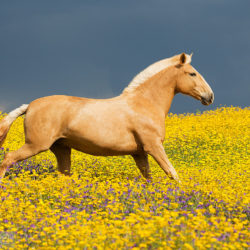 Lusitano mare trotting through the yellow field