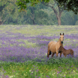 Lusitano mare with foal standing in purple meadow