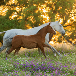 Lusitano mare with foal galloping at sunset