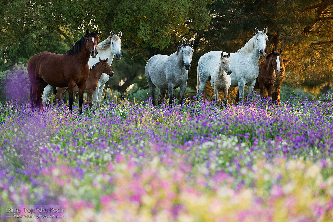Lusitano mares with foals in the blooming field at sunset