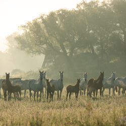 Herd of Lusitano mares with foals in the meadow at sunrise