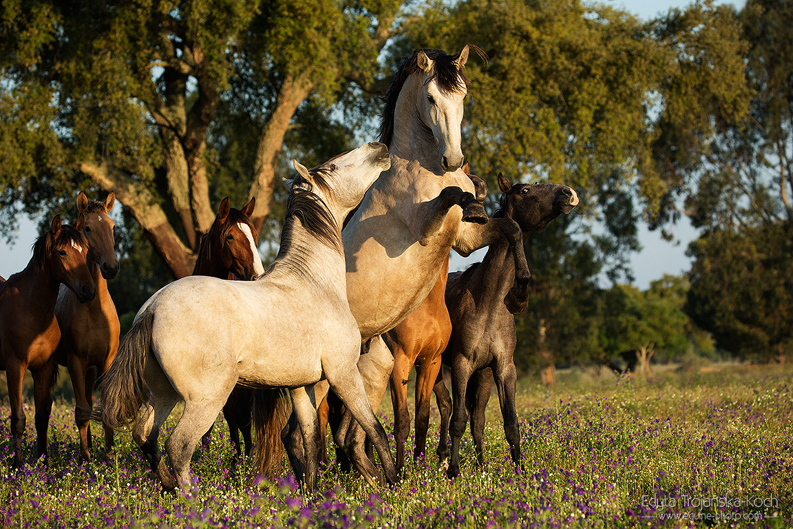 Young Lusitano stallions playing in the field