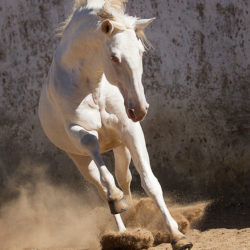 Lusitano stallion galloping on the sand against old wall