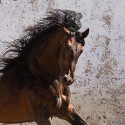 Portrait of Lusitano stallion against wall