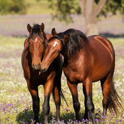 Lusitano stallions nuzzling in the field