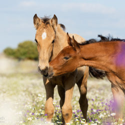 Portrait of Lusitano foals among flowers
