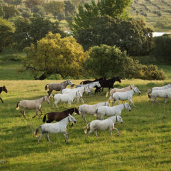 Herd of Lusitano mares in the field