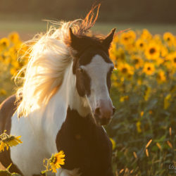 Portrait of Gypsy Cob mare among sunflowers at sunset