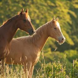 Portret ogierków quarter horse wiosną na łące