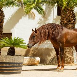 Ogier andaluzyjski stojący w hiszpańskim patio
