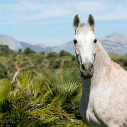 Portret siwej klaczy andaluzyjskiej w górach Hiszpanii
