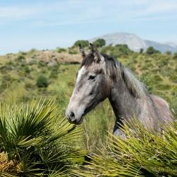Portret siwej klaczy andaluzyjskiej wśród palm w górach Hiszpanii