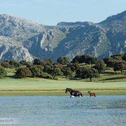 Klacz andaluzyjska ze źrebakiem przechodząca przez jezioro w górach w Hiszpanii
