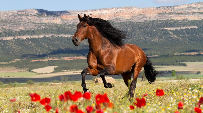 Andalusian PRE stallion galloping in field with flowers in mountains background in Spain
