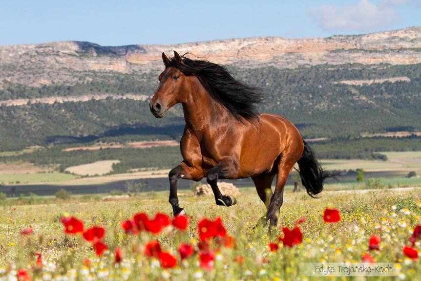 Gniady ogier andaluzyjski galopujący po łace w makach w górach zdjęcia koni