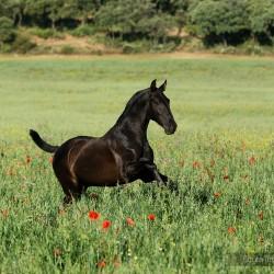 Kary ogierek andaluzyjski galopujący wiosną po łące w makach zdjęcia koni