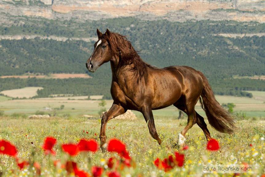 Andalusian chesnut stallion trotting in field with flowers with mountains in background in Spain