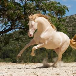 Ogier andaluzyjski perlino galopujący wiosną na piasku w Hiszpanii zdjęcia koni